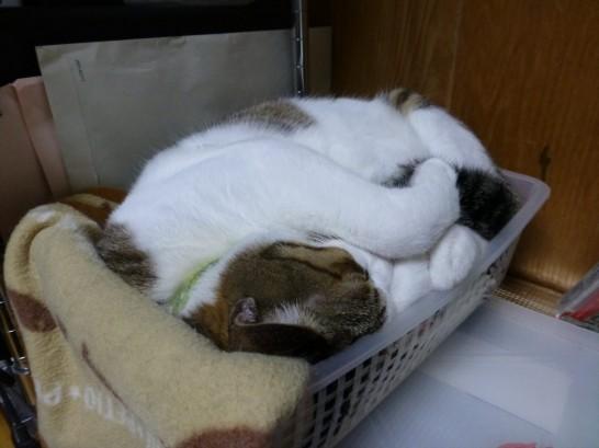 安らかにかごで昼寝をするレオ