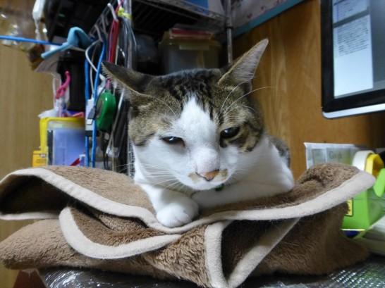 毛布によし掛かる眠そうなレオ(2014:10:26 22:38撮影)
