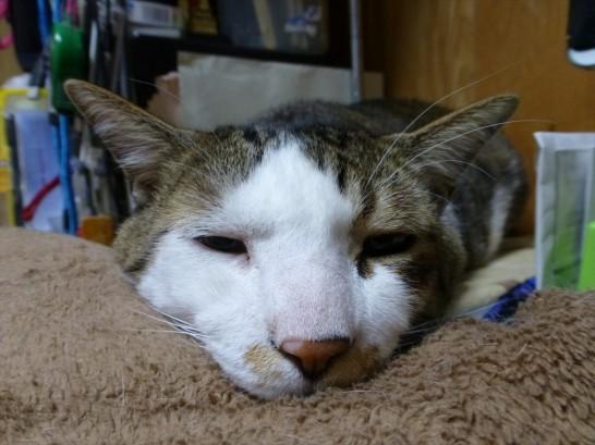 毛布を枕に寝るレオ