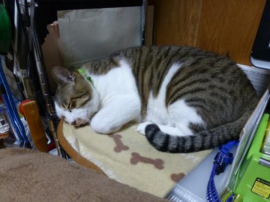 机の端で寝るレオ(2014:10:27 01:57)