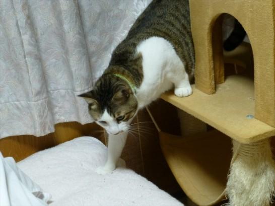 猫ちゃんタワーから下りてくるレオ