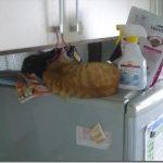 保護した子猫達の寝床が冷蔵庫の上に・・・