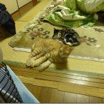 【動画】最近の家の猫達【2017/02/15】