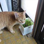 子猫達に猫草を食べさせたら食べた
