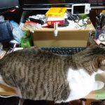 テレワークで猫がパソコン作業の邪魔をするのを解決する奴