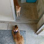 散歩のマリナとお出迎えのチャトラ