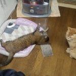 ベッドから追い出されたチャトラとストーブの前のベッドで悠々とくつろぐマリナ