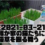 [2021-03-21]我が家の猫たちに猫草を振る舞う